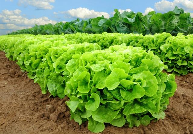 Sistema penitenciário produz hortaliças orgânicas