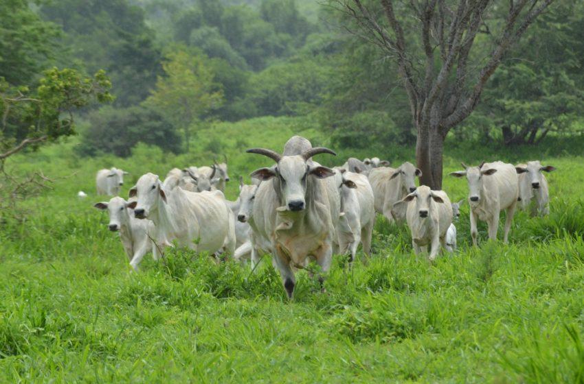 Prefeitura de São Gonçalo inicia vacinação do rebanho bovino contra febre aftosa